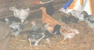 Pullets 04-18-04