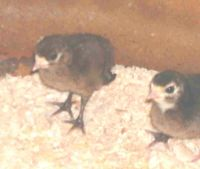 3 days old. Poults 04-21-04
